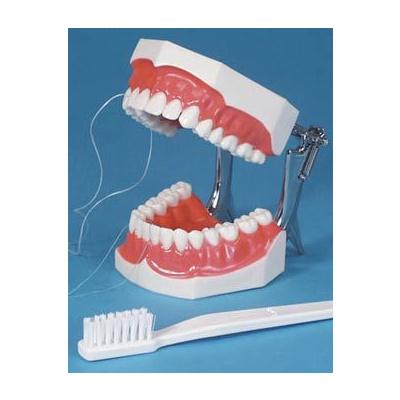 Model pro čištění zubů Floss aPutz-Demo, model s držá