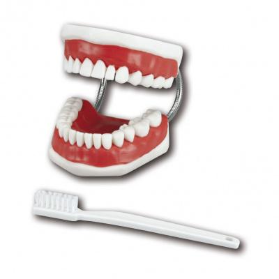 Model pro čištění zubů Floss aPutz-Demo, model s držákem